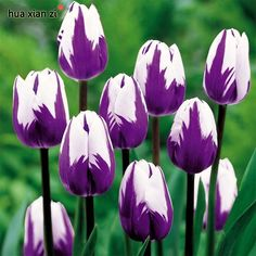 100 Pcs Netherlands Tulip seeds (Not Tulip bulbs) Potted Colors Tulips Fresh Seed Bonsai Flower Planted Holland Tulip Flowers Bulb Flowers, Tulips Flowers, Flowers Garden, My Flower, Pretty Flowers, Spring Flowers, Flower Power, Planting Flowers, Roses