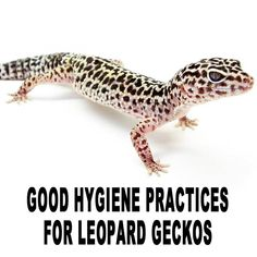 Good hygiene practices for Leopard geckos