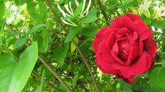IMG_1116   Flickr - Photo Sharing! Don Juan and Honeysuckles