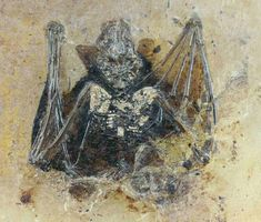 Vulcanops Jennyworthyae - Giant Extinct Burrowing Bat Discovered in New Zealand Amber Fossils, Extinct Animals, Dinosaur Fossils, Prehistoric Creatures, Prehistory, Rocks And Minerals, T Rex, Levitation Photography, Exposure Photography