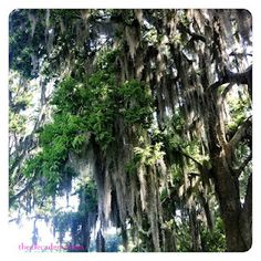 #trees #spanishmoss #selma #thedecadentmess #blog #alabama