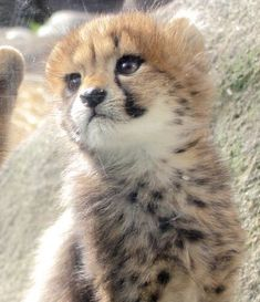 Cute Baby Cats, Cute Cats And Kittens, Cute Little Animals, Majestic Animals, Animals Beautiful, Animals And Pets, Funny Animals, Big Cat Family, Cat Expressions