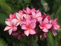 """""""ลีลาวดี"""" Plumeria Redolent By Nongnooch Pattaya Tropical Garden. #nongnooch #gardening #Plants #ลีลาวดี #botanical #tropicalgarden #travel"""