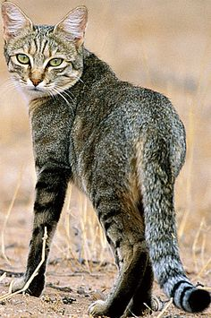 Mother of all cats lived in Mesopotamia - 130,000 years ago ...