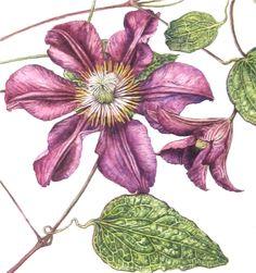 Royal Botanic Garden Edinburgh - RBGE Certificate in Botanical Illustration