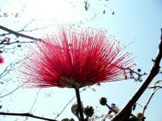 Calliandra Tweedii (Brésil) - Isole di Brissago