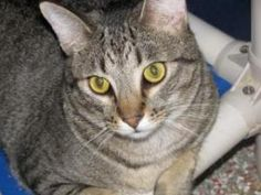 Little Sal is an adoptable Domestic Short Hair Cat in Fort Lauderdale, FL. Lil Sal was a little shy when he first came to APR. He has grown up with us in the kitten room and now that he is comfortable...