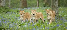 Three's a crowd: The fearsome lions at Longleat do a far more effective job in protecting the bluebells than any sign ever could