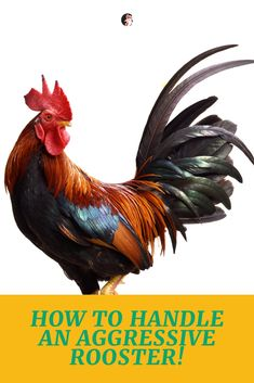 Want to know How To Handle An Aggressive Rooster? Roosters are born with their sense of duty towards the flock they belong in.  #rooster #aggressive #tips #chickens #flock #poultry #homesteading #urbanlife