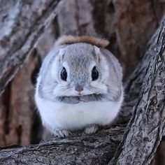 The Japanese dwarf flying squirrel (Nihon momonga) is one of two species of Old World flying squirrels in the genus Pteromys. It is native to Japan where it inhabits sub-alpine forests and boreal evergreen forests on Honshuand Kyushu islands. Cute Little Animals, Cute Funny Animals, Nature Animals, Animals And Pets, Wild Animals, Wildlife Nature, Fluffy Animals, Beautiful Creatures, Animals Beautiful
