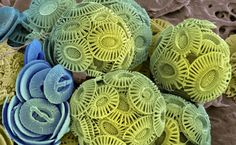 BBC Nature - Coccolithophores videos, news and facts