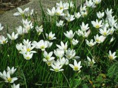 Zephyranthes candida - Rainlily for sale on Trade Me, New Zealand's auction and classifieds website Foliage, Plants, White Flowers, Border Plants, Rain Lily, Rock Garden, Garden, Topiary Garden, Lily Garden