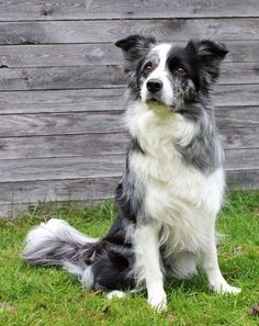 Border collie dogs have thick, double coats which fluctuate from smooth to unpleasant and they arrive in an assortment of hues with highly contrasting being the most prominent. #border_collie