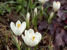 Pihan ja puutarhan ensimmäiset kevätkukat ilahduttavat väriloistollaan. Huhti- ja toukokuun kukkijoiden kuuluvat esimerkiksi krookukset, orvokki ja narsissi.