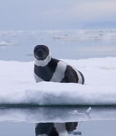 Ribbon Seal…found in the Arctic and Antarctic regions.  I have never seen one before!!