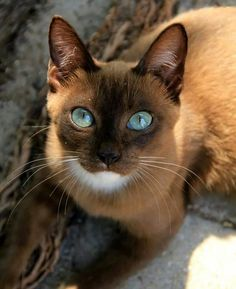 Blueyed Beauty