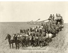 32 Mules Pulling a Holt Bros. Side-hill Harvester - Raymond  Pre-Industrial Revolution