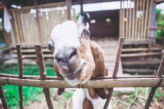 Goat snuggles are the best way to start the morning  Happy Friday from our farm fam! : @brianaautran  #goodearthfarmbali #permaculture #smallfarm #animallove #loveyourfarmer #goats #kambing #sustainablelife #community #goodlife #ubud #bali