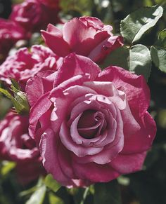 'Heirloom' -  Hybrid Tea Rose.Exc. reviews - fragrant,successful in varied climates,color variable from lilac to lavender.