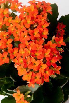 Dettaglio dei fiorellini della kalanchoe, in questo caso in una solare tonalità di arancio