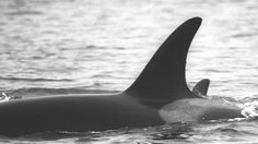 #Mother of baby-boom orca dies after months of weight loss - CBC.ca: CBC.ca Mother of baby-boom orca dies after months of weight loss…