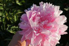 пион Sarah Bernhardt: 10 тыс изображений найдено в Яндекс.Картинках Rose, Flowers, Plants, Image, Pink, Plant, Roses, Royal Icing Flowers, Flower