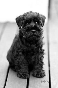 I Didn't Do It by Bjarki Halldorsson #Miniature #Schnauzer