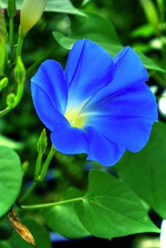 """Blue Power"" by shinichiro*_back on Flickr - A Bright Blue Morning Glory Flower"