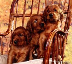 1. Cute redhead ~ I think these Irish Setter puppies are cute little redheads! =)