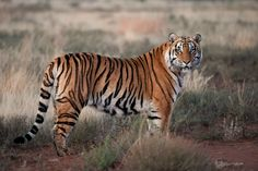 """Tiger: """"The Regal Stance."""" By Shrivant Rajgarhia on Nature Animals, Animals And Pets, Cute Animals, Horse Drawings, Animal Drawings, Jaguar, Bear Skull, Cat Anatomy, Tiger Love"""