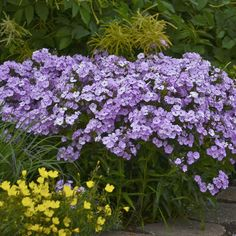 Proven Winners - 'Opening Act Blush' - Phlox hybrid pink blush plant details, information and resources. Long Blooming Perennials, Best Perennials, Blooming Plants, Flowers Perennials, Front Yard Garden Design, Lawn And Garden, Summer Garden, Large Flowers, Purple Flowers
