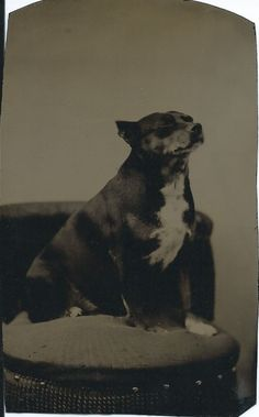 1/6 plate tintype of pudgy dog sitting on fringed chair. From bendale collection