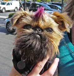 Brussels Griffons - Dogs -  Pierre