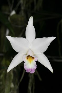 Laelia anceps seedling-@@