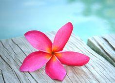 Plumeria - Flowers Wallpaper ID 1425934 - Desktop Nexus Nature