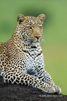 La Galerie - Christine et MichelDenis Huotphotographes animaliers - - léopard - 76544