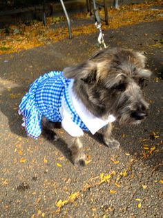 Toto dressed up for Halloween at the CCR Mutt Strut