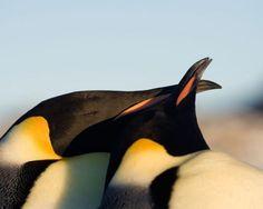 Pingüino emperador (Aptenodytes forsteri)
