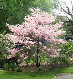 Dogwood shows pretty flowers. I know, I know... it is a tree. But the flowers are beautiful.