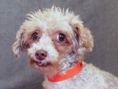 Petango.com – Meet Sundae, a 5 years 1 month Poodle, Toy available for adoption in COLORADO SPRINGS, CO