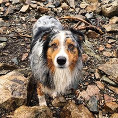 """""""Phinnie is a 3 y/o Aussie...she is full of energy and absolutely loves hiking...this was taken after she took a swim in Snow Lake,"""" writes @nataliemzee.  #dogsofinstagram"""