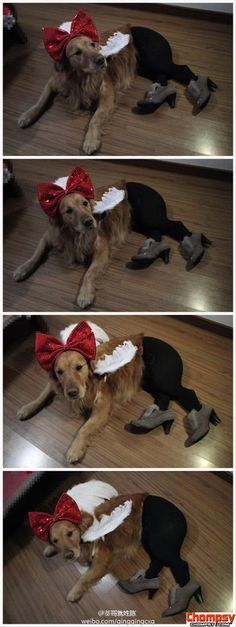 dogs wearing pantyhose meme 3