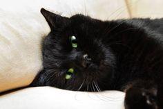 black panther cat