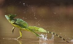Frans de Waal - Public Page JESUS! A double-crested basilisk — also named the Jesus Lizard for its ability to walk on water — runs across a pond in Santa Rita, Costa Rica, in Photograph by Bence Mate Library/Corbis Rainforest Animals, Amazon Rainforest, Les Reptiles, Reptiles And Amphibians, Reptiles Facts, Mammals, Jesus Lizard, Walk On Water, Paludarium