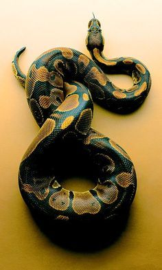 Pretty Snakes, Cool Snakes, Colorful Snakes, Beautiful Snakes, Colorful Animals, Cute Reptiles, Reptiles And Amphibians, Beautiful Creatures, Animals Beautiful
