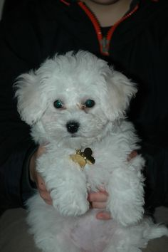 Bichon puppy..   like one of mine!  <3