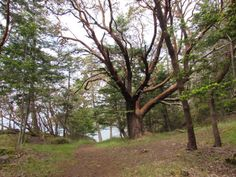 My favorite path in the park~madrona tree San Juan Island photo by Joanne