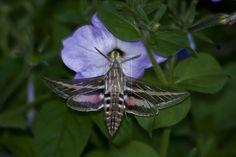 hummingbird moth | Hummingbird Moth by *dragonfly-imagery on deviantART