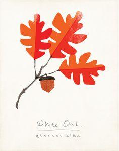 White Oak Autumn Botanical Art Print Modern by ShopAmySullivan