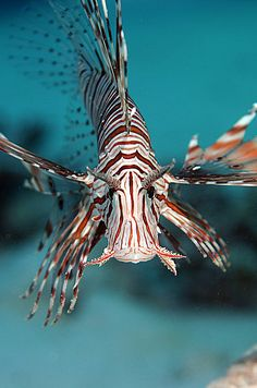 There are many different kinds of lionfish. Most people think that they are all the same, but they arent!!!